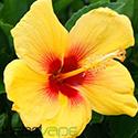 hibiscus-power-e-juice