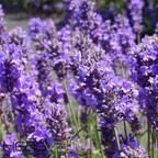 Lavender Spike eJuice